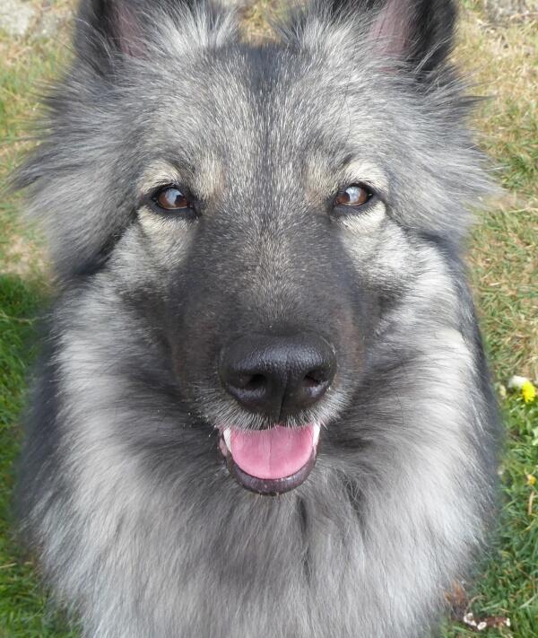 Wolfsspitz Keeshond Spitzloup Kuschelhund Hundezunge